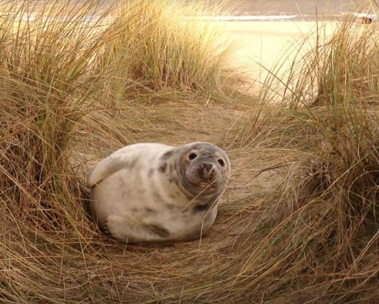 Happisburgh, UK: 5 week old grey seal pup on nearby Horsey Beach