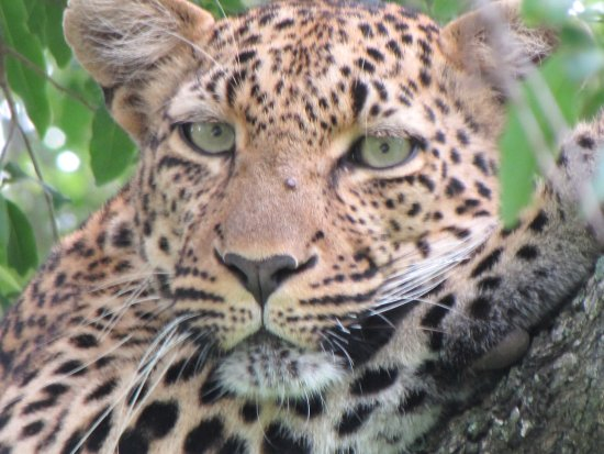 Jock Safari Lodge: Leopard sighting at Jock Lodge
