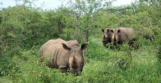 Zululand, Zuid-Afrika: Neushoorns worden hier extra beschermd