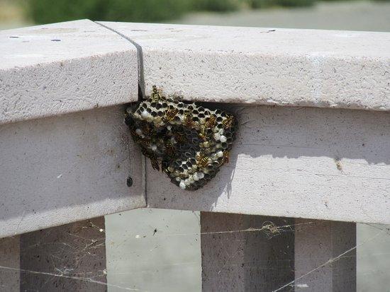 Brigham City, UT: Wasps at Bear River Migratory Bird Refuge