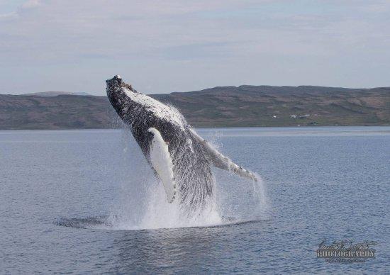 Grundarfjorour, Ισλανδία: Whale Watching Hólmavík