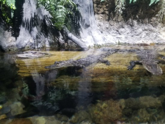 Downtown Aquarium: Small alligators near the front of the exhibits