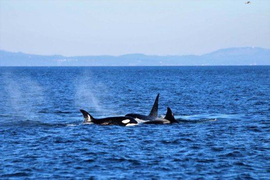 Everett, WA: 3 of the 6 in the pod swimming around teaching the young ones how to hunt