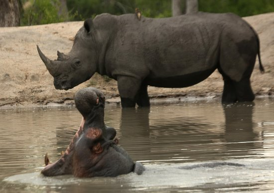 Mala Mala Private Game Reserve, South Africa: Rhino and hippo grudgingly sharing a watering hole.