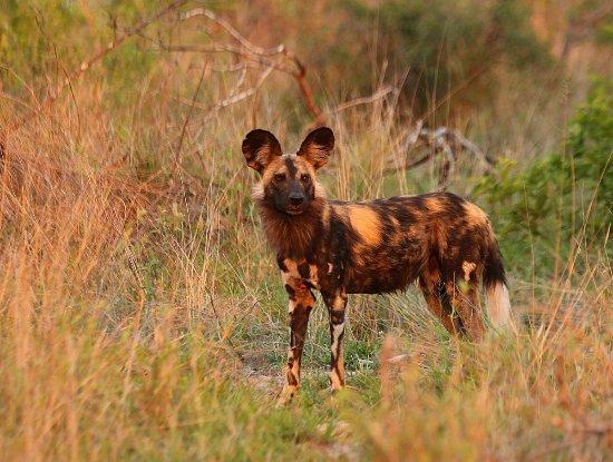 Mala Mala Private Game Reserve, South Africa: Wild dogs are incredibly rare predators, but frequent visitors to Mala Mala.