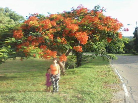 Hermoso árbol De Acacias Forma Parte De La Hermosa Flora De Mushaisa