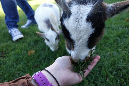 Cotswold Wildlife Park and Gardens: Pygmy goats