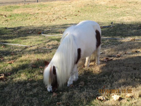 Solvang, CA: Miniature Horses at Quicksilver Ranch