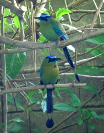Santo Domingo de Heredia, Costa Rica: More Motmots!