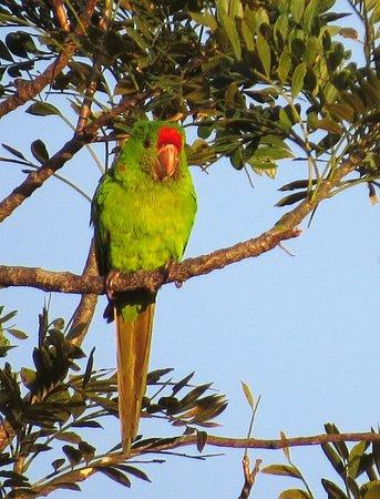 Santo Domingo de Heredia, Costa Rica: Crimson-fronted Parakeet in tree across from hotel.