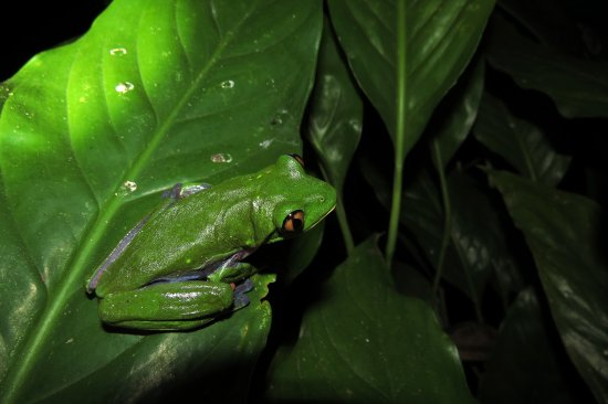 Santo Domingo de Heredia, Costa Rica: Red-eyed Leaf Frogs come out at night so bring your flashlight to enjoy them!