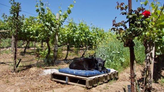 Constantia, جنوب أفريقيا: Winery dog
