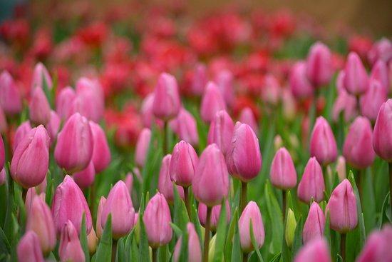 Azumino, Jepang: H30.1.2~21 『インドアガーデン~チューリップの庭~』開催。12,000本のアイスチューリップがあづみの学校多目的ホールに咲き誇ります。