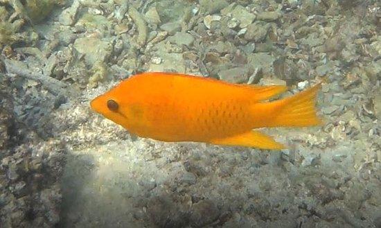 Jansom Bay : Female slinger jaw wrasse