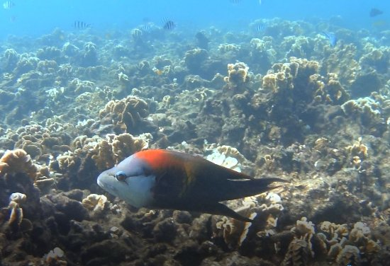 Jansom Bay : Male slinger jaw wrasse