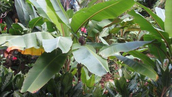 un bananier d coratif de birmanie picture of jardin botanique de deshaies deshaies tripadvisor. Black Bedroom Furniture Sets. Home Design Ideas