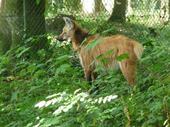 Le Guerno, فرنسا: Loup à crinière