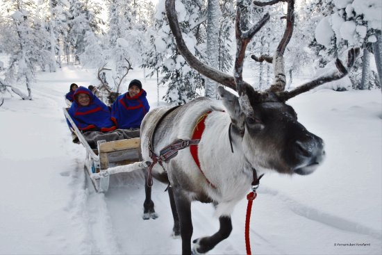 Saariselka, Finlândia: Our reindeer Stara in his star moment