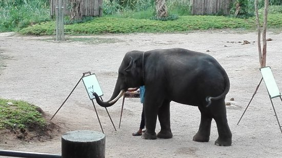 ปางช้างแม่แตง: elefante pittore