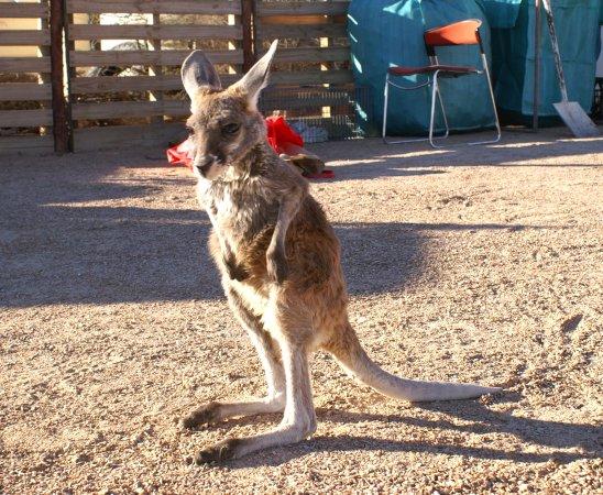 Orphaned kangaroo joey - Picture of Hidden Gems of ...