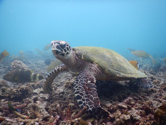 Turtle at Jansom Bay