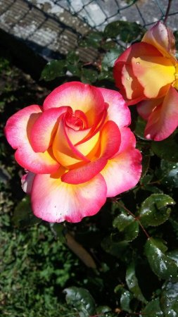 Berceto, Italie: Rose nel parco