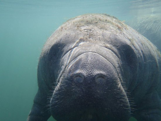 Homosassa, FL: getting up close and personal with a manatee