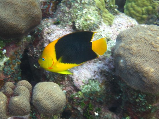 Eden Rock Diving Center: Many Rock Beauties at Eden Rock