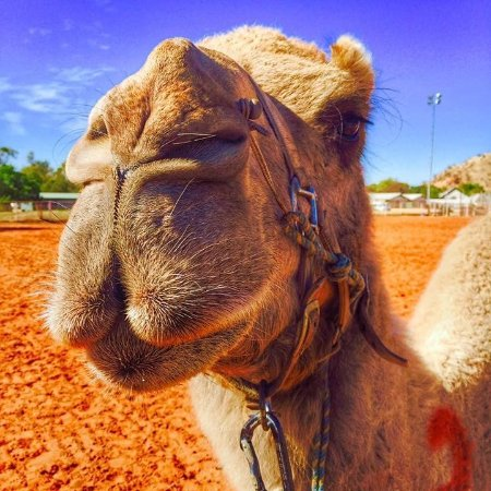 Yulara, Australien: Camel close up