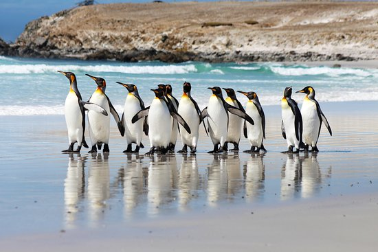Stanley, Falkland Islands: King Penguins on Volunteer Beach