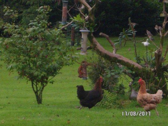 Auchencairn, UK: Red squirrel + garden hens!