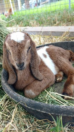 """Honomu, HI: Goats love to """"occupy space"""", even from birth.  This day-old doeling wants to occupy the feed di"""