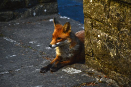 Ross Castle B&B: Friendly Fox!