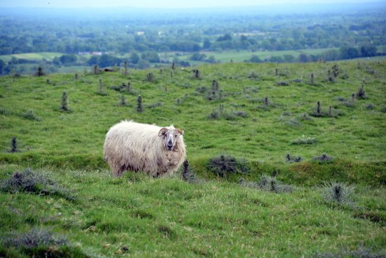 Oldcastle, Irlandia: Who knew sheep had dredlocks and horns (yes, it IS a sheep!)