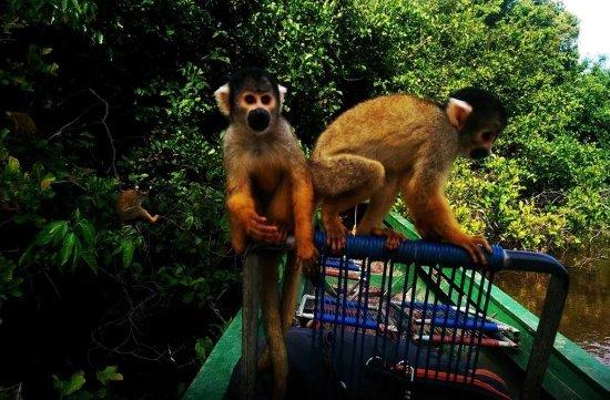 Tambopata Reserve Tours: Monkeys in Tambopata, Peru amazon jungle tours in Puerto maldonado