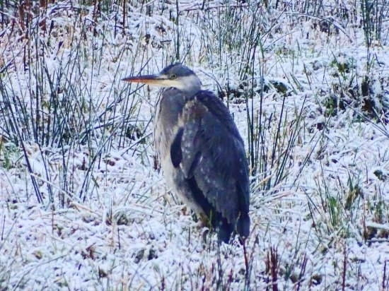 Crianlarich, UK: Local Heron