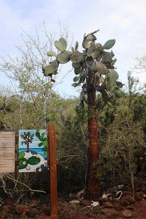 Las Grietas: Opuntia cactus