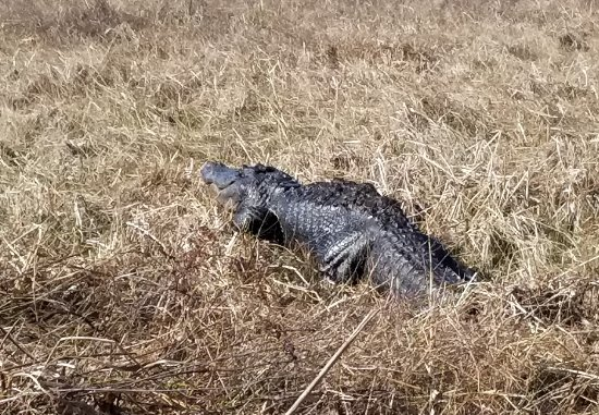 Marrero, LA: But we got to see one sunning himself at the water's edge
