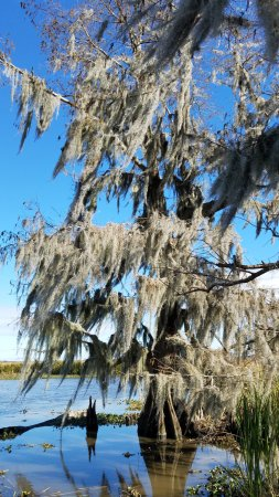 Marrero, LA: Spanish Moss