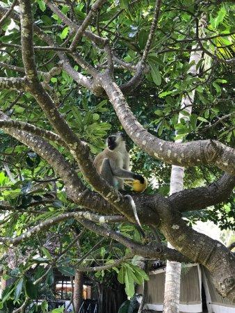 Severin Sea Lodge: Kijk uit voor je eten op het terrein. De apen hebben ook honger!