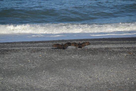 Shelter Cove, CA: Et par kondorer viser sig frem