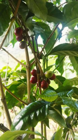 Tanga Region, Tanzania: Coffee beans