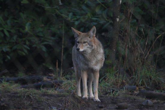 Tenino, WA: red wolf