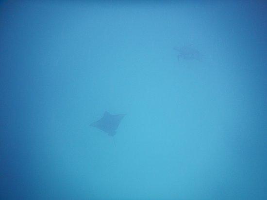 Puerto Baquerizo Moreno, Ecuador: spotted eagle ray & turtle