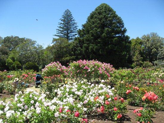 Parnell Rose Gardens : バラ園