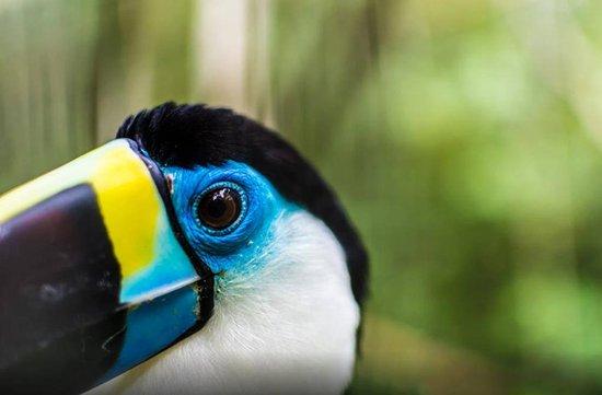 Tambopata Reserve Tours: Tucan in Tambopata national reserve