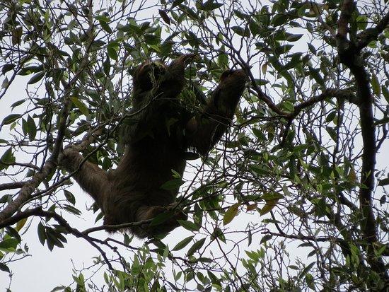 Aguas Zarcas, Costa Rica: A sloth visiting the surrounding trees