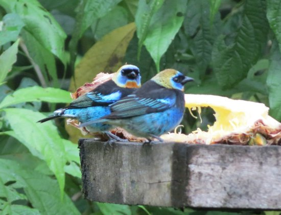 Aguas Zarcas, Costa Rica: Our neighbor set some pineapple on the bird-feeder and it attracted lots of colorful birds.