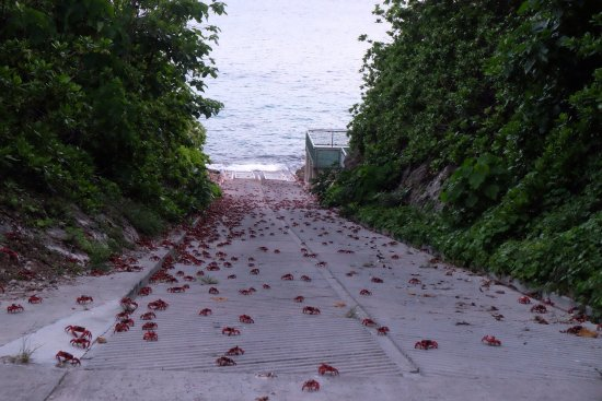 part of the cycle of life on christmas island red crab spawning at ethel beach