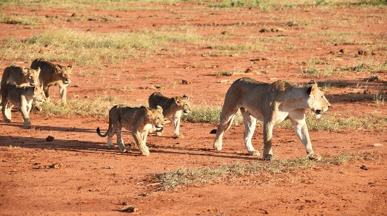 Tsavo National Park East, Κένυα: Lvi